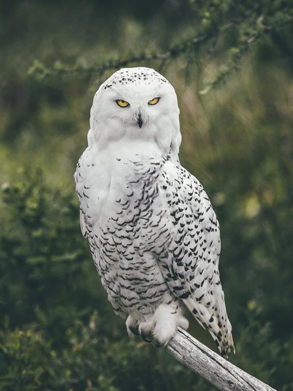 Snowy Owl at Salmonier Nature Park, Avalon, NL