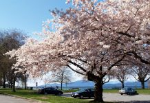 Cherry blossom at Kitsilano beach, Vancouver; Photo by ©Pacific Walkers