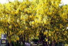 1-Laburnum at VanDusen Botanical Garden