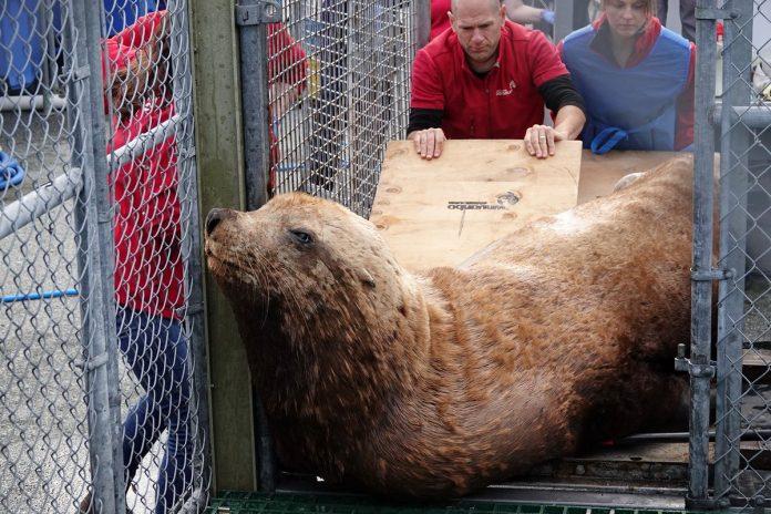 "2 A rescued Steller sea lion ""Ukee"" of the Vancouver Aquarium Marine Mammal Rescue Centre; Photo from Vancouver Aquarium Twitter @vanaqua"
