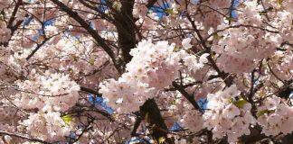 Sakura, Vancouver; Photo by ©Pacific Walkers