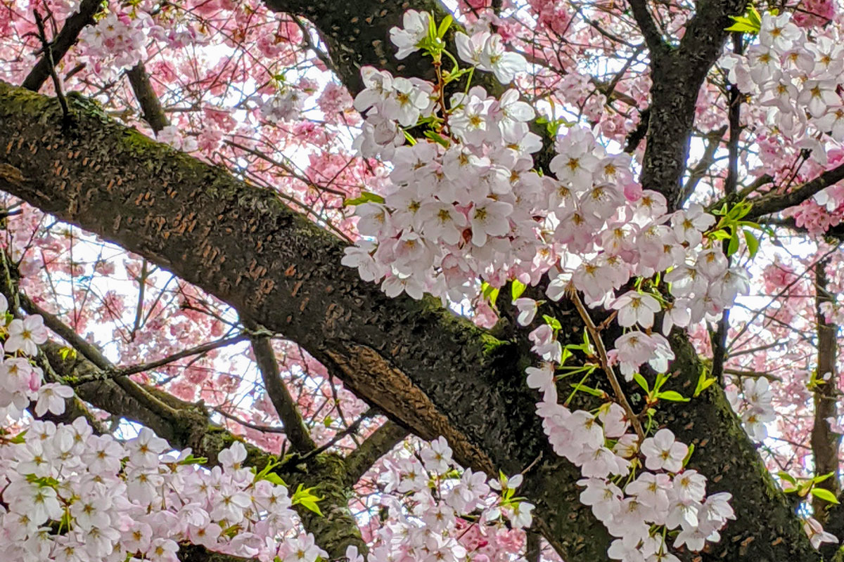 Sakura at North Vancouver in 2020; Photo by ©Pacific Walkers