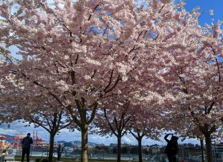 Sakura blooming at Waterfront Station; Vancouver, Photo by ©Pacific Walkers